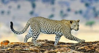 The Supple Leopard